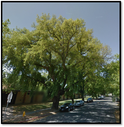 First Street and Marshall Ave. cork oak